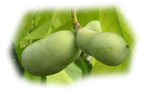 Фрукты - Банан прерий