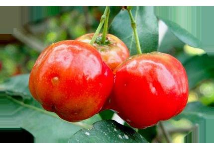 Фрукты - Барбадосская вишня