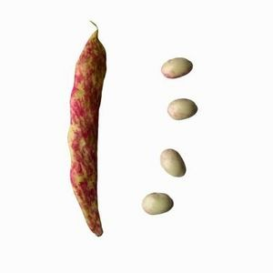 """Овощи - Фасоль """"Borlotti"""""""