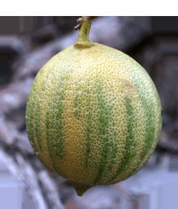 Фрукты - Розовый лимон
