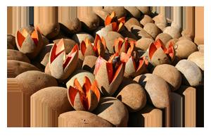 Фрукты - Путерия (мармеладное дерево)
